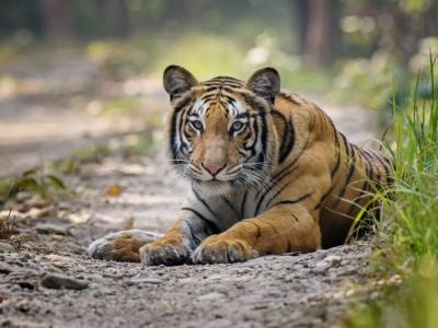 Samsara-Safari-Tiger