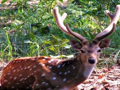 Spotted deer in Bardiya