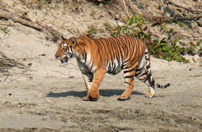 Bengal-Tiger-Bardia6