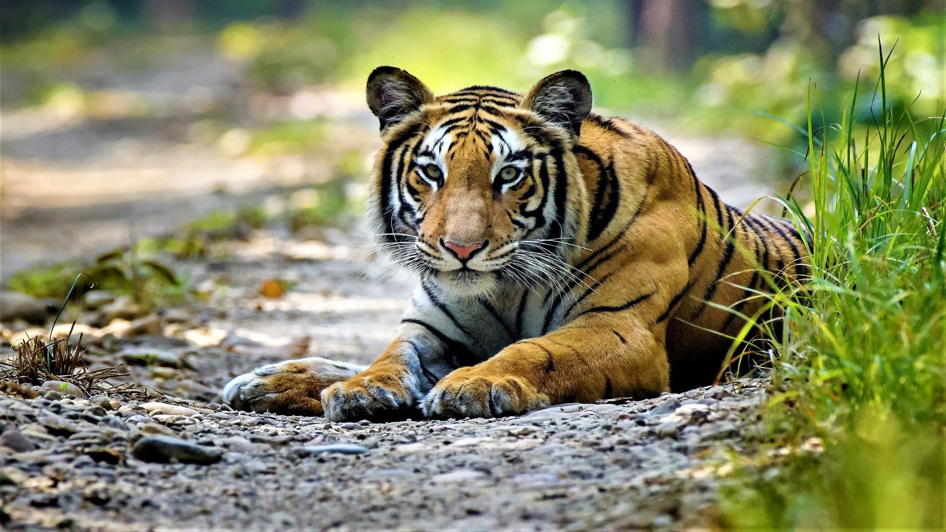 Samsara-Safari-Slider-Tiger